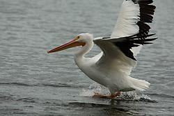 American white pelican (Pelecanus erythrorhynchos) Takes Off, Windsor, Vero Beach, Florida, US