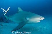 bull shark, Carcharhinus leucas, female in seasonal breeding aggregation with remoras or sharksuckers, Echeneis naucrates, Playa del Carmen, Cancun, Quintana Roo, Yucatan Peninsula, Mexico ( Caribbean Sea )