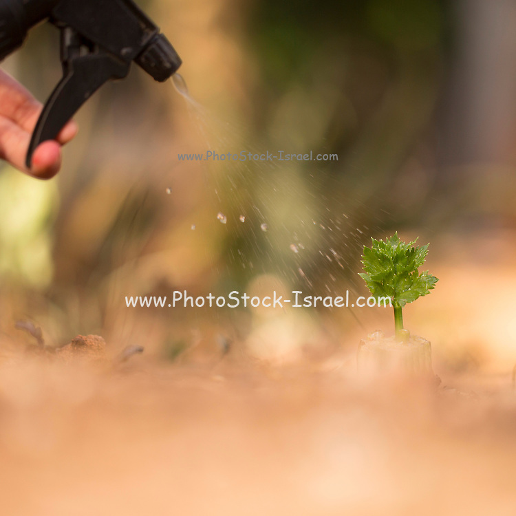 Watering a young sapling with water spray bottle
