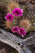 Hedgehog Cactus and Cholla Branch, Kofa Wilderness, Kofa National Wildlife Refuge, Yuma County, Arizona