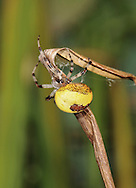 Spider  Araneus marmoreus Var. pyramidatus