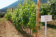 Vines. Batiki vine variety. Biblia Chora Winery, Kokkinohori, Kavala, Macedonia, Greece