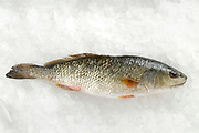 Fresh Red Drum on ice these fish are grown in pools