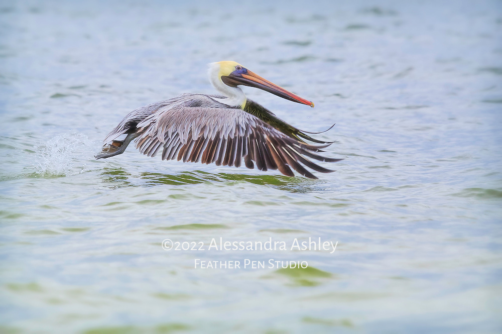Brown pelican just after takeoff, gliding over water while fishing. Sanibel Island, FL.