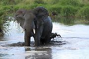 Africa, Tanzania, Serengeti National Park African Bush Elephant (Loxodonta africana) in the watering hole