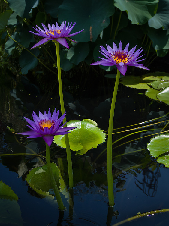 Water lily pond at Longwood gardens