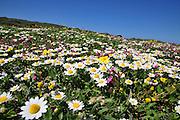 Wild chamomile AKA German chamomile (Matricaria recutita)
