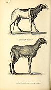 African Sheep from General zoology, or, Systematic natural history Vol II Part 2 Mammalia, by Shaw, George, 1751-1813; Stephens, James Francis, 1792-1853; Heath, Charles, 1785-1848, engraver; Griffith, Mrs., engraver; Chappelow. Copperplate Printed in London in 1801 by G. Kearsley