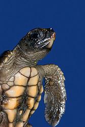 loggerhead turtle hatchling, Caretta caretta, showing belly button, endangered species, Bahamas, Caribbean, Atlantic Ocean (c)