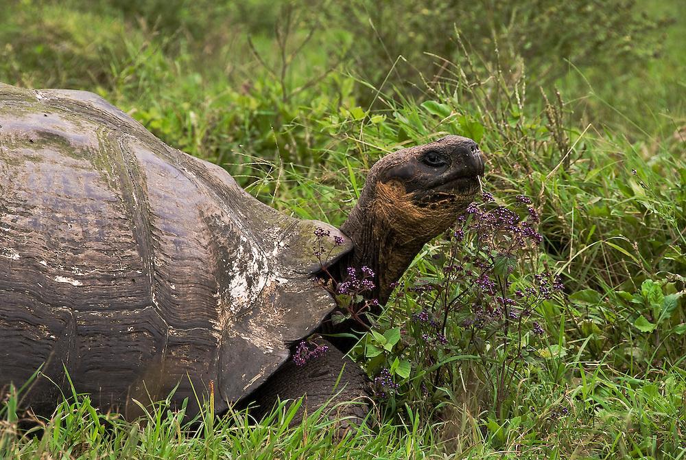 Tortoise<br /> Galapagos