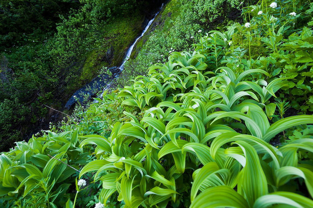 A field of corn lilies (Veratrum sp.) on the Hidden Lake Trail, Mount Baker-Snoqualmie National Forest, Washington.