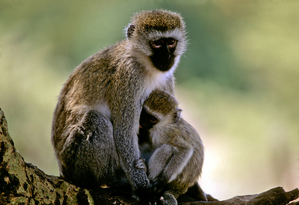 A mother and baby monkey sitting in a tree.