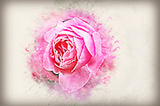 Digital sketch of a pink garden rose
