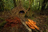 Vogelkopf Bowerbird (Amblyornis inornatus) bower decorated with orange leaves, dark orange fungi, and blue berries.
