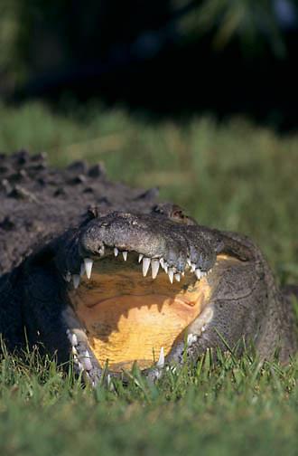 American Crocodile (Crocodylus acutus) in the Everglades,  Florida.  Captive Animal..American Crocodile (Crocodylus acutus) in the Everglades, Florida.  Captive Animal.
