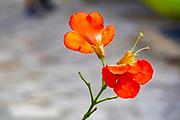 Close up of an orange flower On the Greek Island of Cephalonia, Ionian Sea, Greece