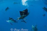 Atlantic sailfish, Istiophorus albicans, with sardine in mouth, taken from a bait ball of Spanish sardines (aka gilt sardine, pilchard, or round sardinella ), Sardinella aurita, under attack by cooperatively hunting sailfish, off Yucatan Peninsula, Mexico ( Caribbean Sea )