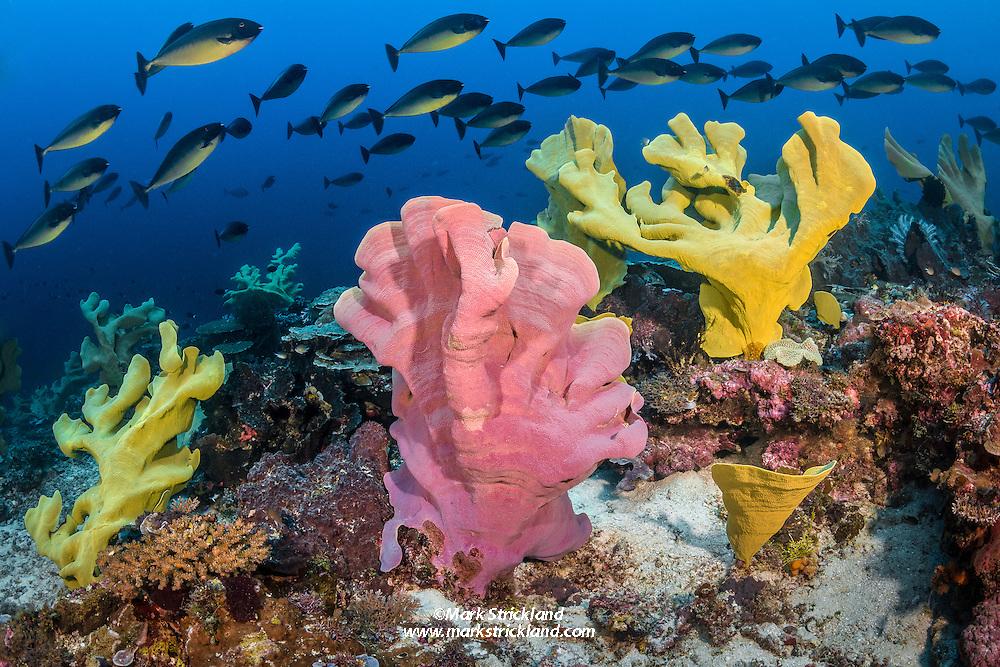 Schooling Sleek Unicornfish, Naso hexacanthus, pass over a stand of elephant-ear sponges. Wild Fish Ridge, Cenderawasih Bay, West Papua, Indonesia, Pacific Ocean
