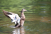 Female Eider Duck, Somateria mollissima, Barnes, London UK, flapping wings, Wildfowl & Wetlands Trust WWT