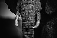 Elephant's tusks make them dispensible pawns in the ivory game.