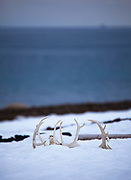 Reindeer Antlers in the snow at Mushamna trappers hut, in Woodfjorden, Svalbard