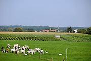 Nederland, Groesbeek, 22-9-2006..Wijngaard in Hollands landschap biologische wijnhoeve de Colonjes..Wijnproductie, wijnproduktie, druif, wijngaard, warmer klimaat, klimaatsverandering, seizoensarbeid, druiventeelt, landbouw, fruitteelt. Dit jaar wordt een recordoogst verwacht van 8000 liter, op 5 hectare...Foto: Flip Franssen/Hollandse Hoogte