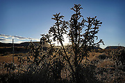 Cactus growing along a fence in the Oklahoma Panhandle near Black Mesa State Park