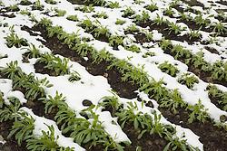 Hardy salad leaves in the snow. Mizuna and Mibuna