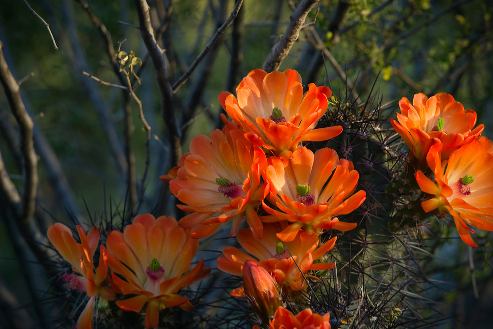 Red blossoms adorn this cactus on my early morning walk