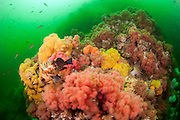 Prolific and colorful marine life make Browning Wall offshore northern Vancouver Island, British Colombia, Canada, one of the best cold water dive locations in the world.