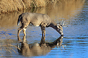 Whitetail buck drinking from the Belle Fourche River near the base of Devils Tower in Wyoming
