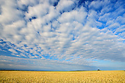 Wheat crop and clouds<br /> Holland<br /> Manitoba<br /> Canada