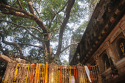 BODH GAYA (INDIA), Feb. 18, 2014  Photo taken on Feb. 17, 2014 shows the sacred Bodhi Tree of Lord Buddha's enlightenment at the Mahabodhi Temple Complex in Bodh Gaya, State of Bihar, eastern India. The Mahabodhi Temple Complex is one of the four holy sites related to the life of the Lord Buddha, and particularly to the attainment of Enlightenment. The first temple was built by Emperor Asoka in the 3rd century B.C., and the present temple dates form the 5th or 6th centuries. It is one of the earliest Buddhist temples built in brick, still standing in India, from the late Gupta period. (Credit Image: © Xinhua via ZUMA Wire)