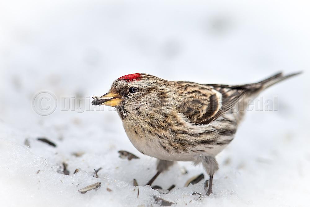 Common Redpollin the snow, eating sunflower seeds   Gråsisik i snøen som spiser solsikkefrø.