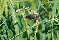 Male Cinnamon-rumped Seedeater (formerly) White-collared Seedeater), (Sporophila torqueola) feeding on seeds in grasses at edge of Lake Chapala Jocotopec, Jalisco, Mexico