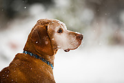 SHOT 2/19/18 5:27:11 PM - Tanner, a 13 year-old male Vizsla, watches snow fall during a winter storm in Denver, Co. The Vizsla is a dog breed originating in Hungary, which belongs under the FCI group 7 (Pointer group). The Hungarian or Magyar Vizsla are sporting dogs and loyal companions, in addition to being the smallest of the all-round pointer-retriever breeds. The Vizsla's medium size is one of the breed's most appealing characteristics as a hunter of fowl and upland game, and through the centuries the Vizsla has held a rare position among sporting dogs – that of household companion and family dog. The Vizsla is a natural hunter endowed with an excellent nose and an outstanding trainability. It was bred to work in field, forest, or water. Although they are lively, gentle-mannered, demonstrably affectionate and sensitive, they are also fearless and possessed of a well-developed protective instinct. (Photo by Marc Piscotty / © 2018)