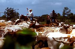 two men herding a group of longhorn cattle