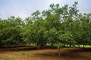 Walnut trees orchard, Nux Gallica, near St Amand de Coly, Perigord region, Dordogne, France