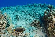 Orangeband Surgeonfish, Acanthurus olivaceus, Forster, 1801, na'ena'e, Maui Hawaii