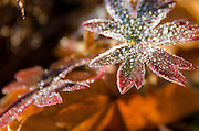 Frost crystals outline a leaf of hardy geranium (Geranium sanguineum), Bar Harbor, Maine.