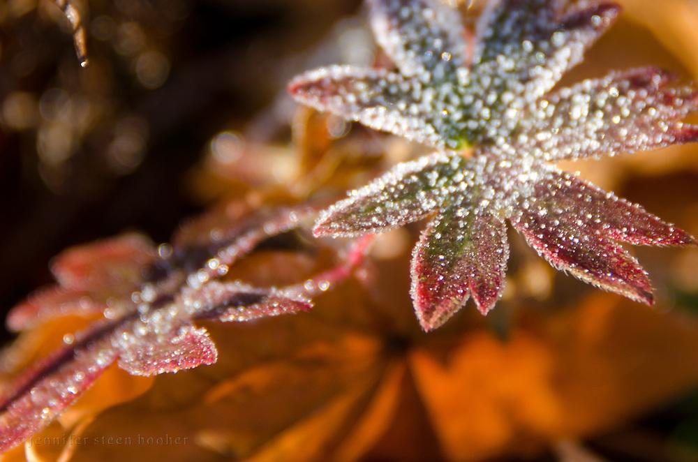 Frost crystals outline a leaf of hardy geranium (Geranium sanguineum), Bar Harbor, Maine.