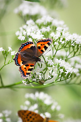 Butterflies on wild valerian. Top to bottom: Comma (Polygonia c-album)and Silver washed fritillary (Argynnis paphia)