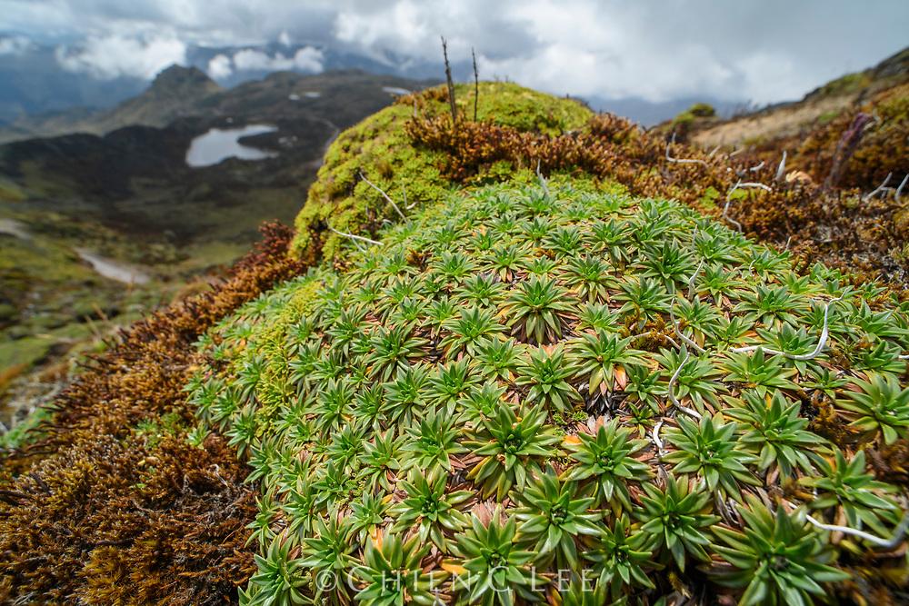Cushion plant (Plantago rigida) among alpine Páramo vegetation. Pichincha, Ecuador.