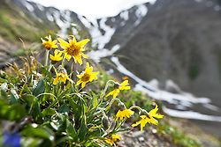 Arnica blooms in the alpine, Kluane National Park, Yukon