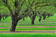 Almond trees in orchard in spring, Central Valley, California