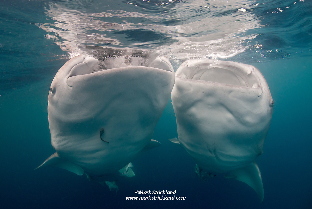 A pair of Whale Sharks, Rhincodon typus, feeding at the surface. Cenderawasih Bay, West Papua, Indonesia, Pacific Ocean