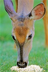 White-tailed Deer Eating Corn