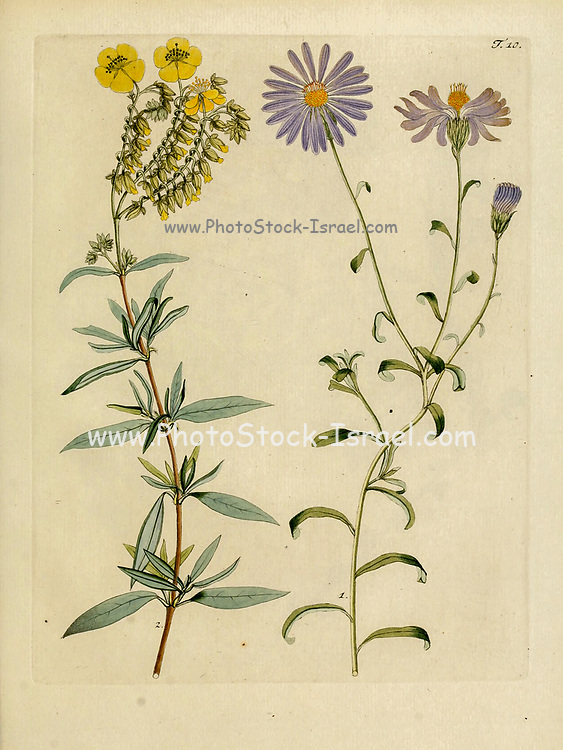 hand painted Botanical illustration of flower details leafs and plant from Collectaneorum Supplementum by Nicolai Josephi Jacquin Published 1796. Figure 10