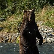 Alaskan Brown Bear, (Ursus middendorffi) Adult standing in river fishing for salmon. Katmai National Park. Alaska.