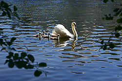 © Licensed to London News Pictures. 02/06/2013. London, UK A family of swans in the early morning sunshine on the watercourse. People enjoy the sunshine in the grounds of Chiswick house, West London, today 2nd June 2013. Photo credit : Stephen Simpson/LNP